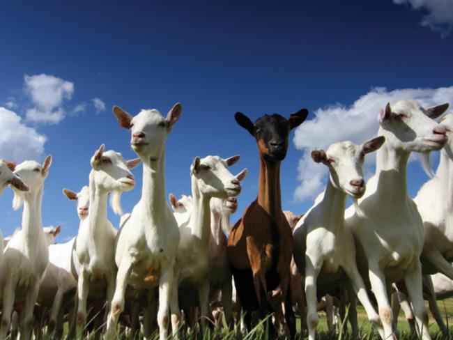 Když jdete na důležitou schůzku a projdete vedle kozy, tak vám to přinese štěstí, protože kozy dokáží absorbovat zlo