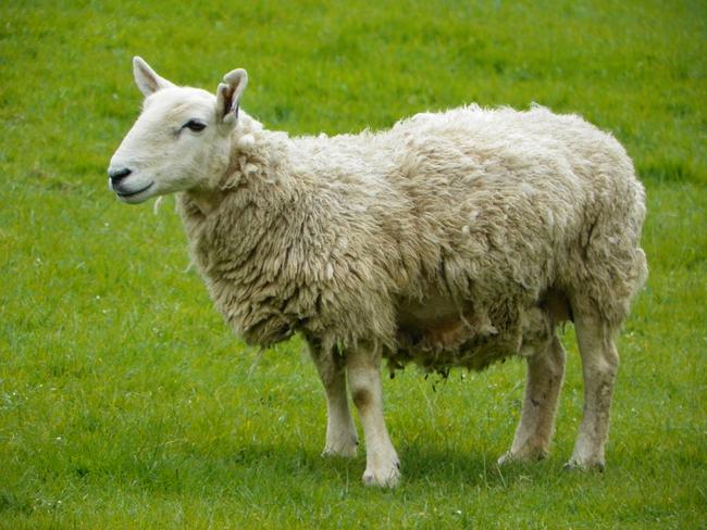 Ovce dokáží rozeznávat obličeje a chápou úsměv stejně jako lidé