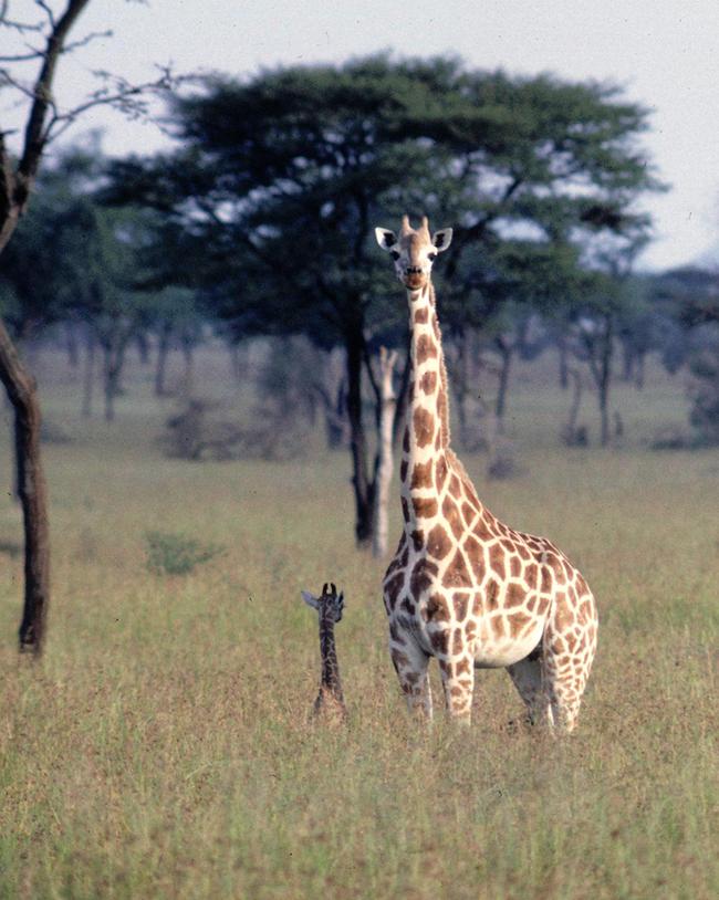 Žirafy rodí skoro vždy na stejných místech, kde se sami narodily