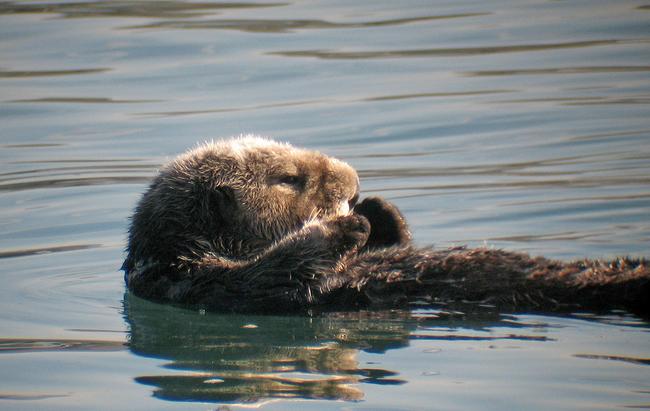 Mořské vydry mají pod předloktím kapsy, kam si schovávají jídlo a nástroje