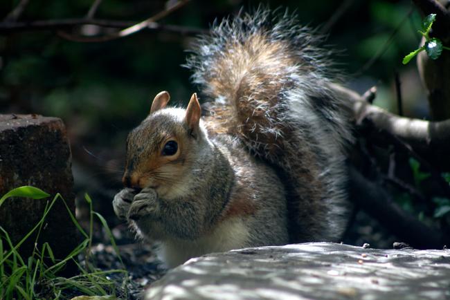 Veverky nemají problém přijmout do rodiny mladé osiřelé veverky