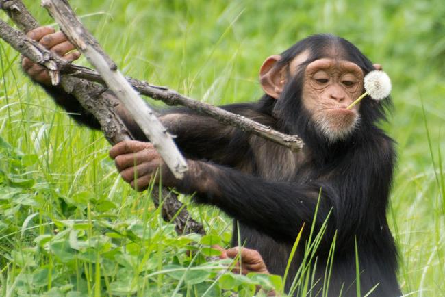 Mláďata šimpanzů v mládí nosí klacky jako panenku a starají se o ni. Napodobují svou matku