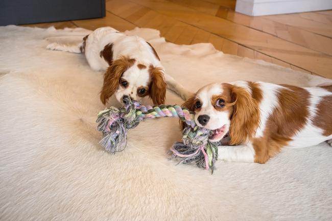 Psi často nechávají záměrně vyhrávat fenky při jejich bojovných hrátkách